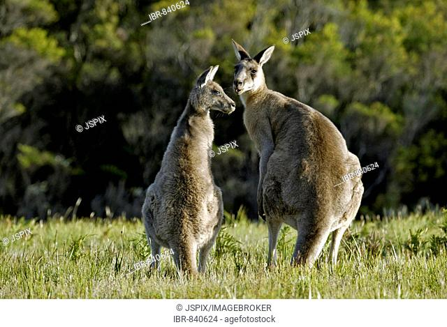 Eastern Grey Kangaroo (Macropus giganteus), adult pair, Australia