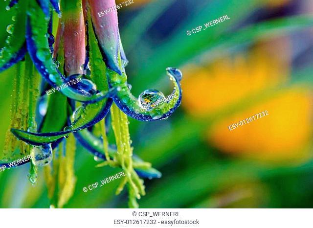 Billbergia nutans Queen's tears