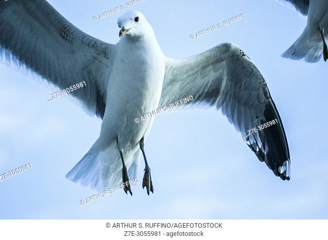 """""""""""""""""""""""Following the ship. """""""" Seagulls competing for food as cruise ship passenger tosses morsels of food from balcony"""