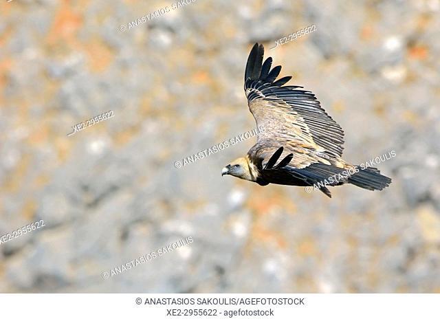 Griffon Vulture - Gyps fulvus, Crete