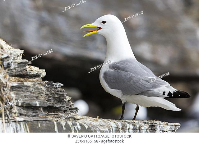 Black-legged Kittiwake (Rissa tridactyla), adult standing on a rock
