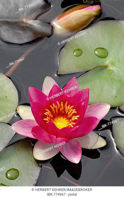 Waterlily (Nymphaea), blossom and pads