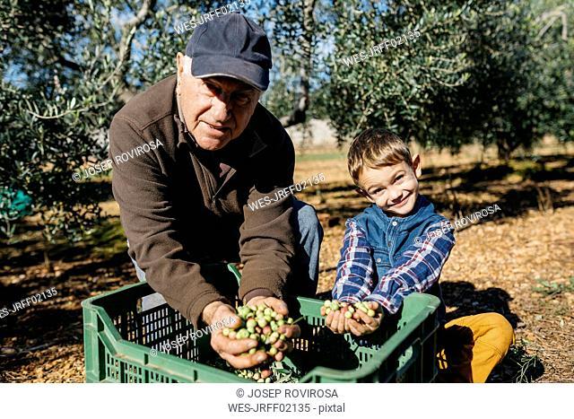 Portrait of senior man and grandson harvesting olives together in orchard