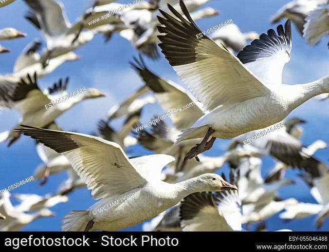 Snow Geese Flying Skagit Valley Washington