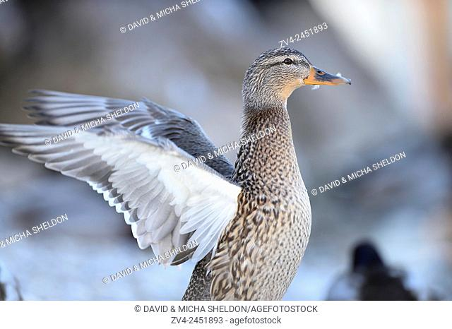 Close-up of a mallard or wild duck Anas platyrhynchos on lake Grundelsee in winter. Styria, Austria