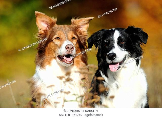 Australian Shepherd. Two dogs sitting next to each other, portrait. Germany