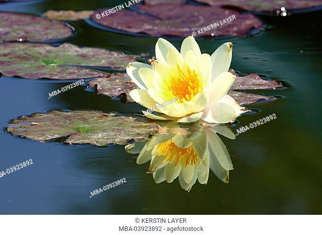 Waterlily, Nymphaea alba-Hybrid, bloom