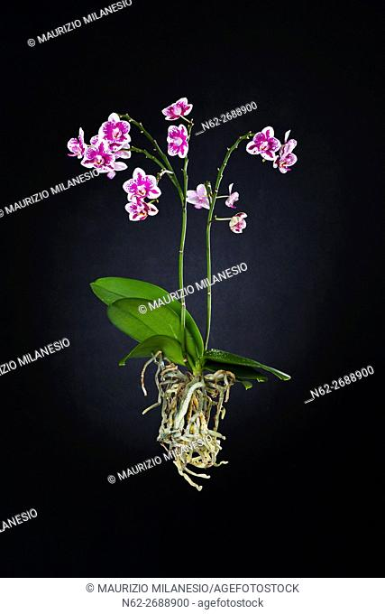 Purple and white orchid with totally visible roots isolated on black backdrop