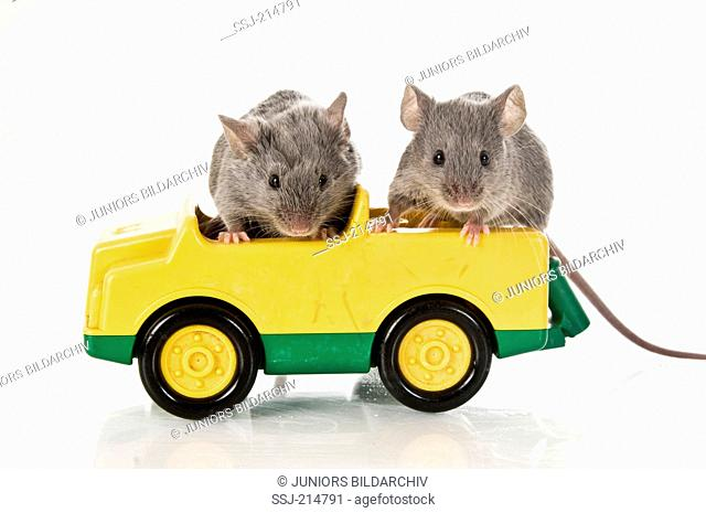 Fancy Mouse. Two adults in a toy car. Studio picture against a white background. Germany