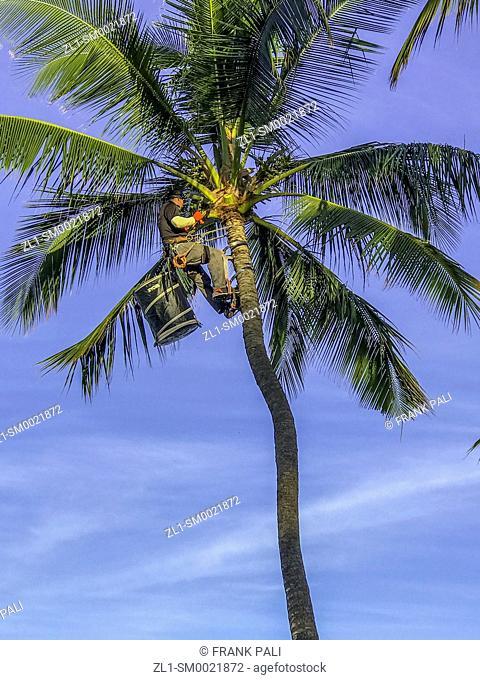 Pruning the Palm trees along the Wailea Coastal Walk along Maui's famed, sun-kissed south shore resort area Hawaii