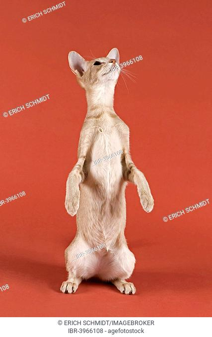 Pedigree cat, Oriental Shorthair, cat breed, colour silver spotted tabby, sitting on its hind legs