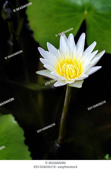 White water lily with yellow pollen on the dark water with big green leafs