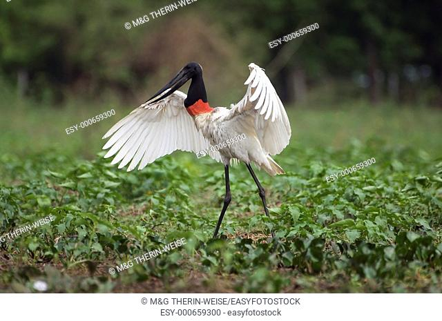 Jabiru stretching its wings, Pantanal, Brazil Jabiru mycteria