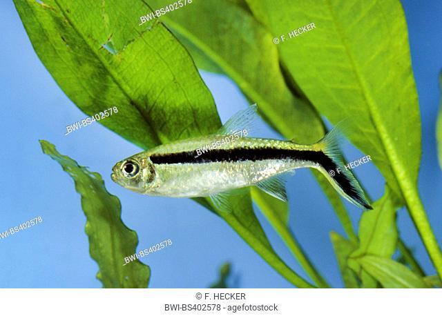 Blackline penguinfish, Blackline Thayeria, Hockey-stick tetra, Penguin fish, Penguin tetra (Thayeria boehlkei), swimming