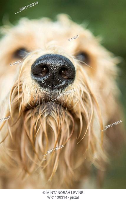 A golden labradoodle standing in the water looking up expectantly