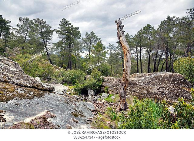 Pines in Valdelavieja. Cadalso de los Vidrios. Madrid. Spain. Europe