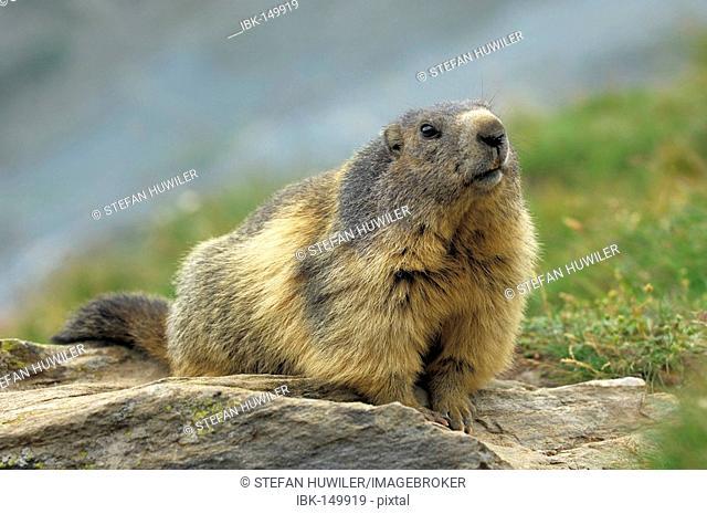 Groundhog (Marmota marmota), Valais, Switzerland