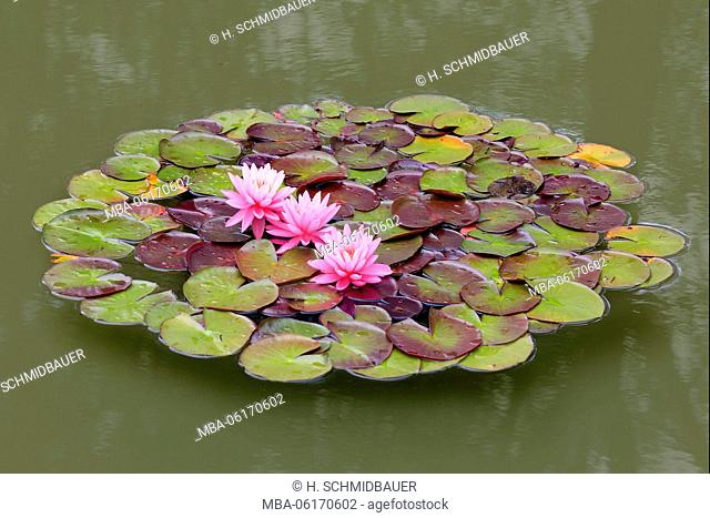 Water lilies flowers and leaves in the pond, Nymphaea