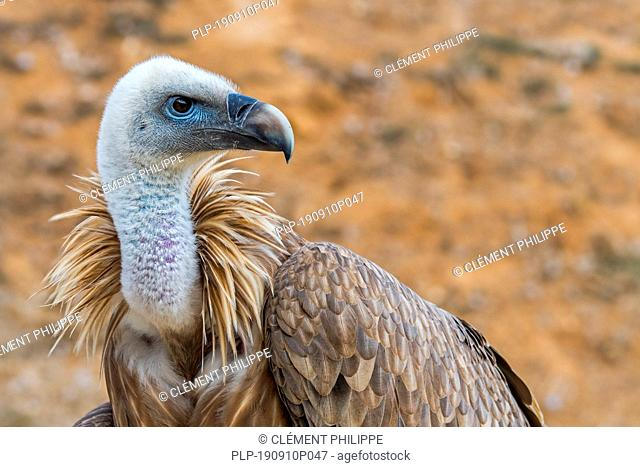Griffon vulture (Gyps fulvus) close-up portrait, native to France and Spain in Europe