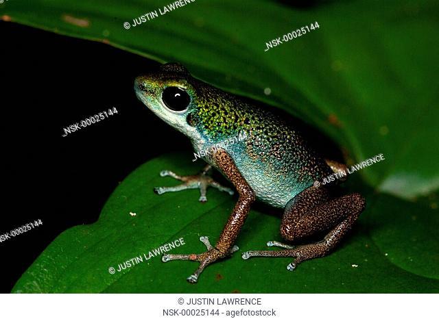 Loma Partida morph Strawberry Poison Frog (Oophaga pumilio) resting on a leaf, Panama