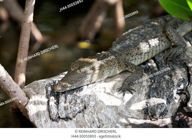 Juvenile Morelet's Crocodile, Crocodylus moreletii, Cancun, Yucatan, Mexico