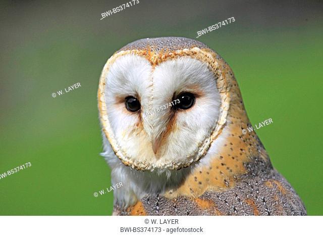 Barn owl (Tyto alba), portrait, Germany