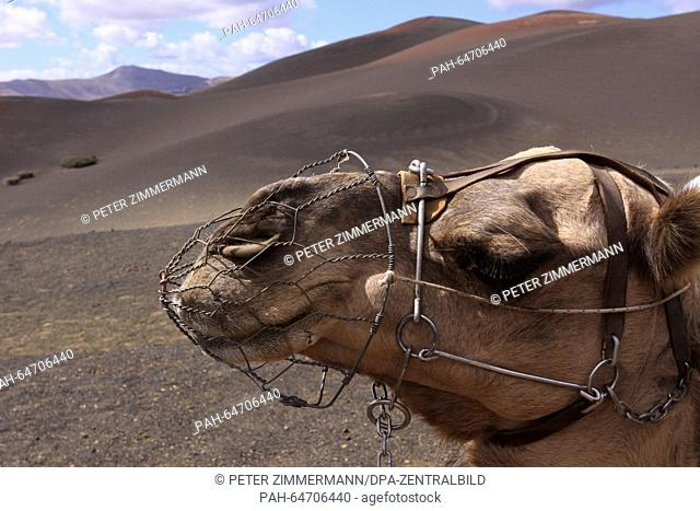 Camels have to wait for tourists in the Timanfaya National Park on the Canary Island Lanzarote, Spain, 09 October 2015. The Timanfaya National Park is in the...