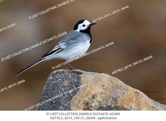 White Wagtail on rock, White Wagtail, Motacilla alba