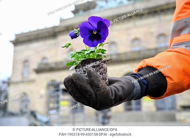 12 March 2019, Lower Saxony, Braunschweig: A gardener from the city green department of the city of Braunschweig is holding a purple pansy in his hand in front...