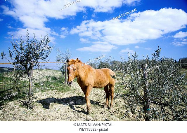 Horse with olive trees and blue sky with clouds and shadow
