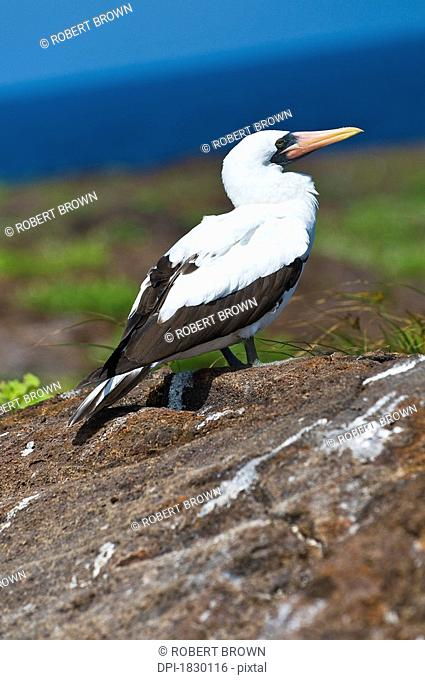 Nazca Booby on rock