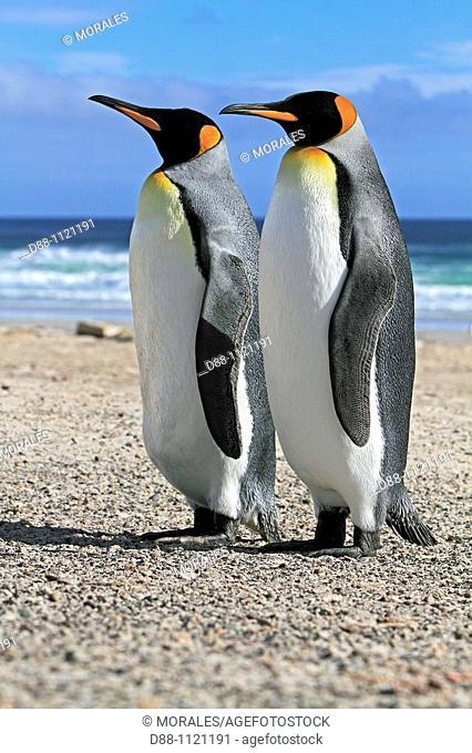 King Penguin (Aptenodytes patagonicus), Saunders Island, Falkland Islands, UK