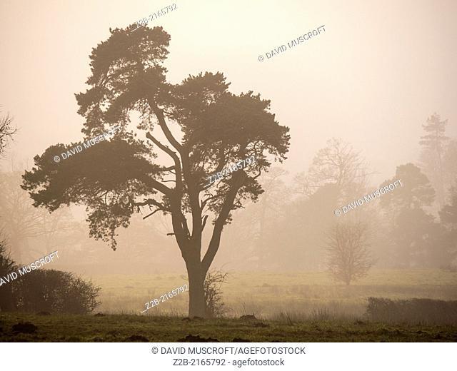 Trees in misty winter weather