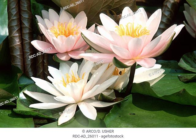 White Water-lilies Lower Saxony Germany Nymphaea alba