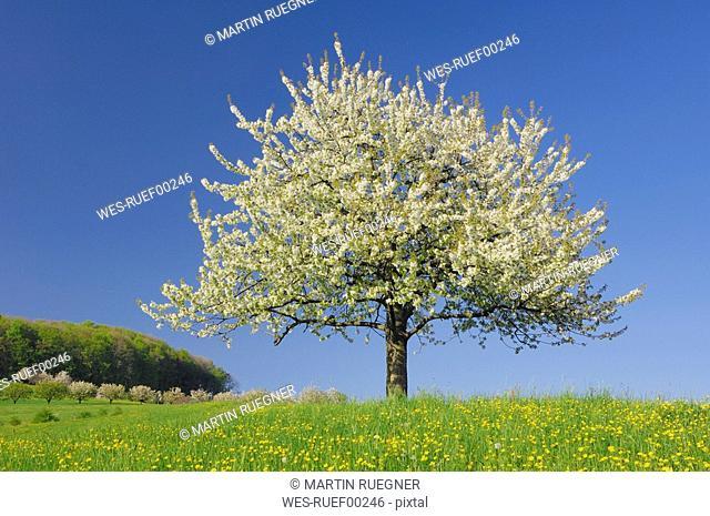 Switzerland, Cherry blossom in field