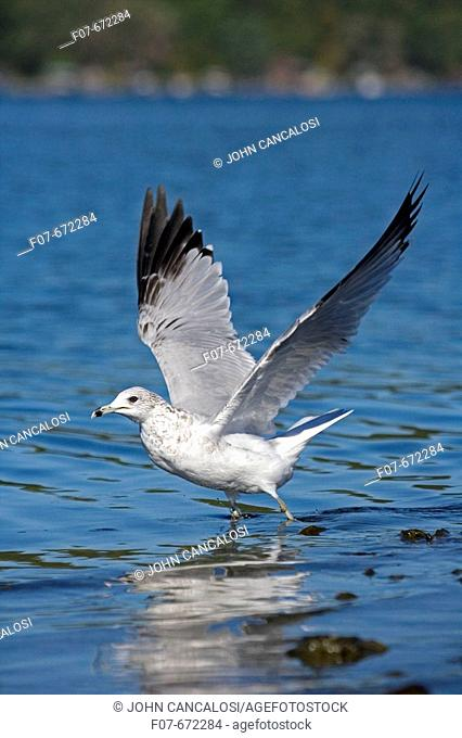Ring-billed Gull (Larus delawarensis). New York. USA. Adult taking off from lake. Most commonly seen gull.  Epecially inland