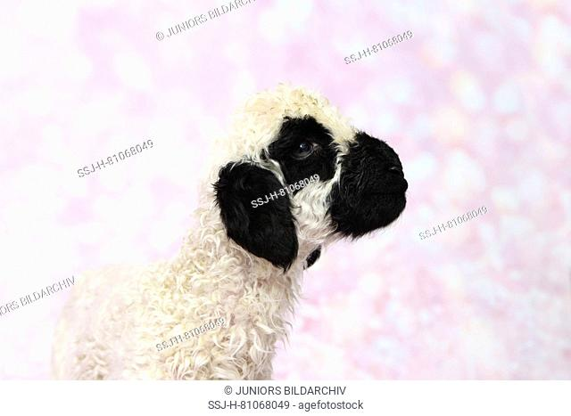 Valais Blacknose Sheep. Portrait of a lamb (5 days old) Studio picture against a pink background. Germany