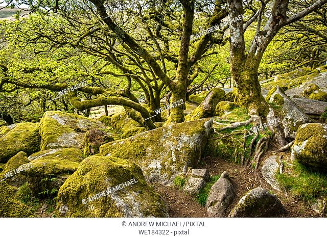 Sessile oaks and moss in Wistman's Wood Dartmoor Devon England UK GB British Isles