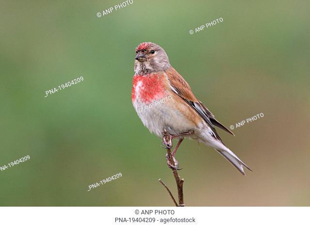 Eurasian Linnet Carduelis cannabina - Beneden-Dinkeldal, Ootmarsum, Twente, Overijssel, The Netherlands, Holland, Europe