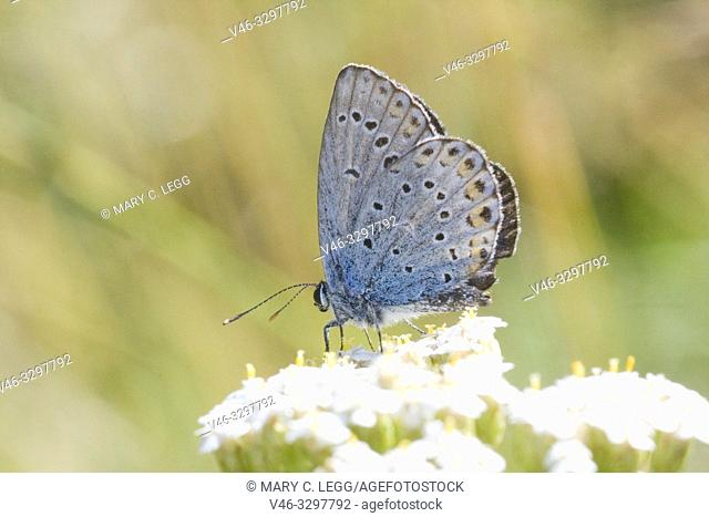 Idas Blue, Plebejus idas. Small blue butterfly that is found in nutrient poor habitats and sandy grasslands. Easily cofused with Reverdin's Blue and...