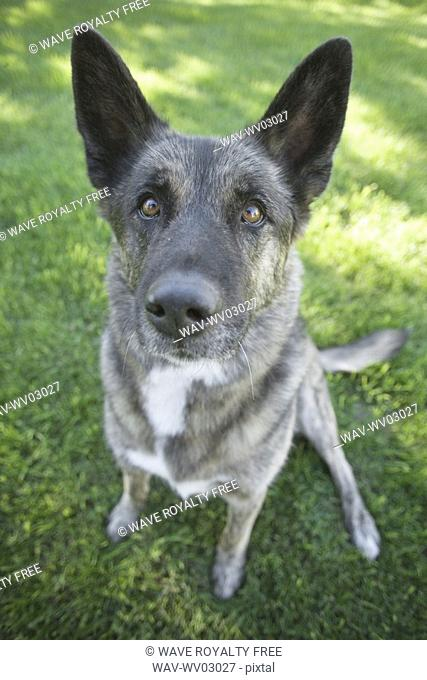 Mixed breed dog waiting for a treat, Canada, Alberta