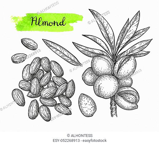 Ink sketch of almond. Hand drawn vector illustration. Isolated on white background. Retro style