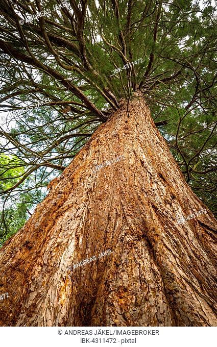 Redwood (Metasequoia glyptostroboides), Putbus palace garden, Rügen, Mecklenburg Vorpommern, Germany