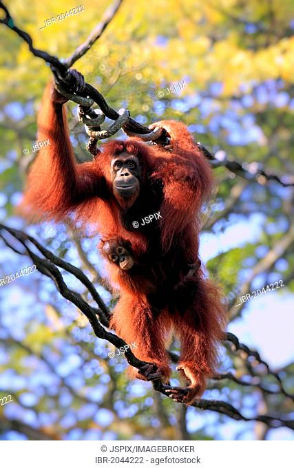Bornean orangutan (Pongo pygmaeus), mother with young on a liana, Singapore, Asia