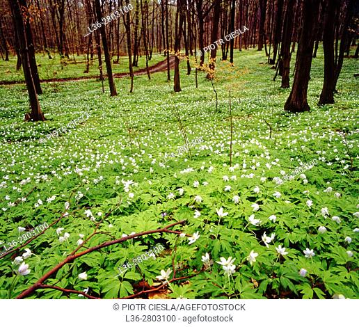 Poland. Spring in the wood