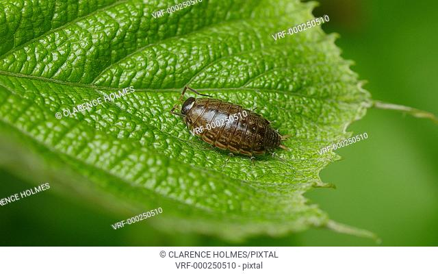 A Common Striped Woodlouse (Philoscia muscorum) perches on a wild grape leaf