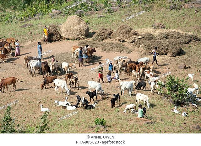 Family threshing rice harvest using domestic cows treading, with goats and children nearby, Koraput district, Orissa (Odisha), India, Asia