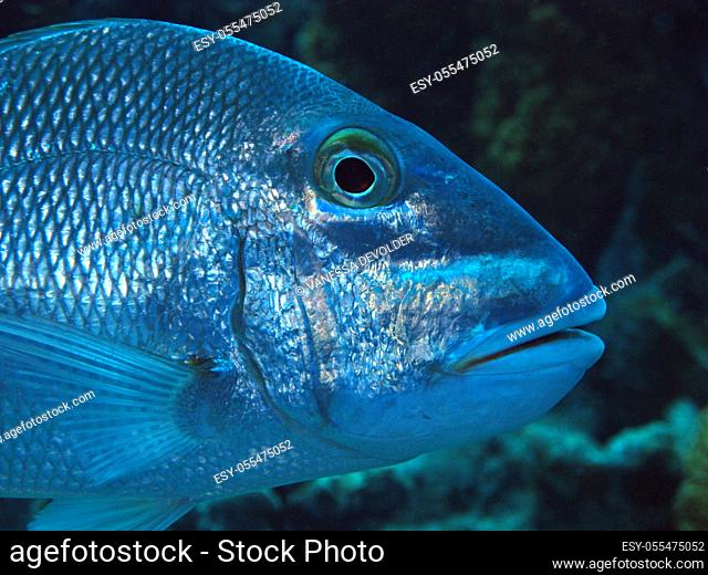 Tropical fish (Jolthead porgy) in the Caribbean sea around Bonaire