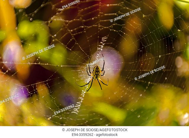 Black and Yellow garden spider in a web