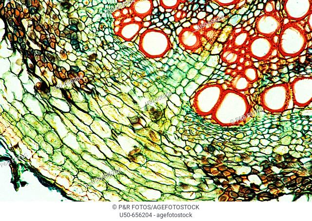 Dicotyledon root (cross section), xylem, phloem, pith, vascular bundle, vascular tissue,  parenchyma, 200 X  optical microscope, photomicrography